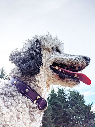 Poodle in purple leather collar from PaisleyFish-min.jpg