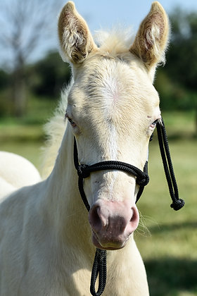 Licol Foal corde Noire