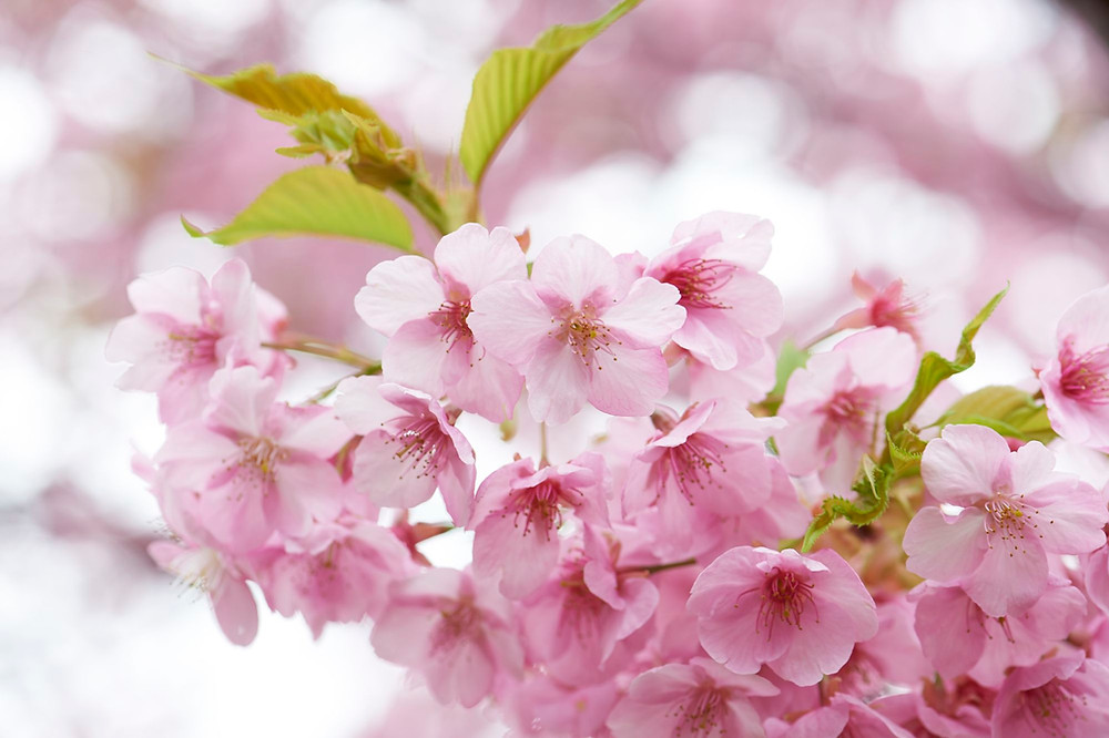 Sakura JNTO