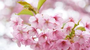 O que fazer no Japão durante a primavera?