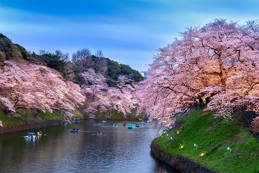 Flores de cerejeira no parque de Chidorigafuchi em Tokyo, Japão