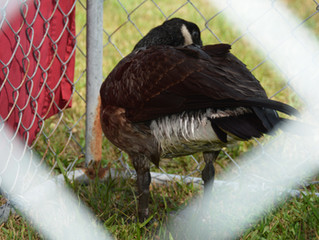Clinic Update: Tangled Goose