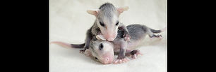 Opossums Four Weeks Old 980x330.jpg