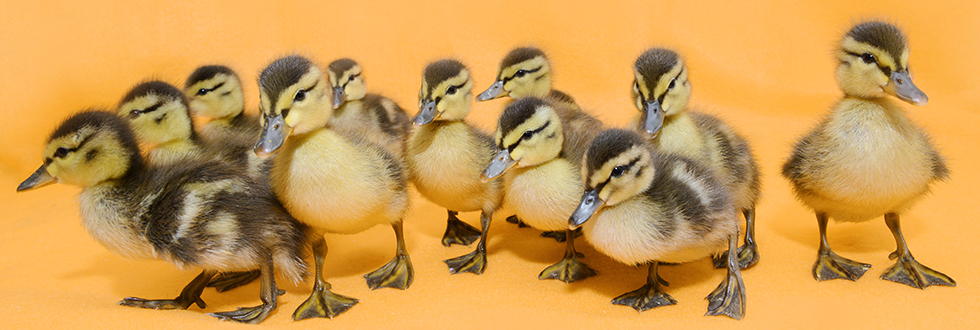 Mallard Ducklings 980 x 330