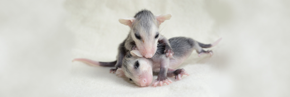 Opossums Four Weeks Old 980x330