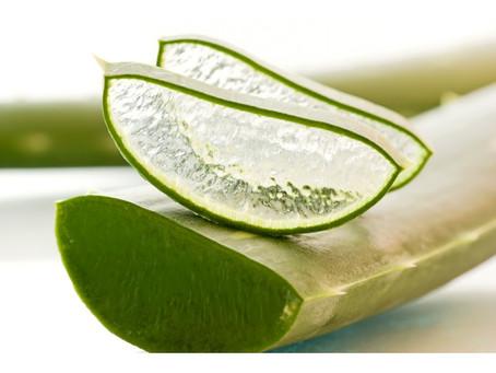 Os efeitos benéficos da planta Babosa para o cabelo e a pele