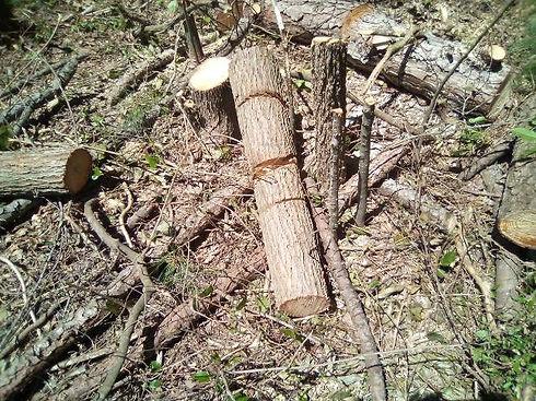 Tree Cutting1.JPG