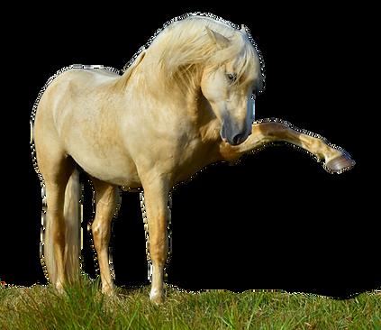 Majestic Spanish Horses