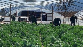 Legal Marijuana Does Not Stop The Black Market