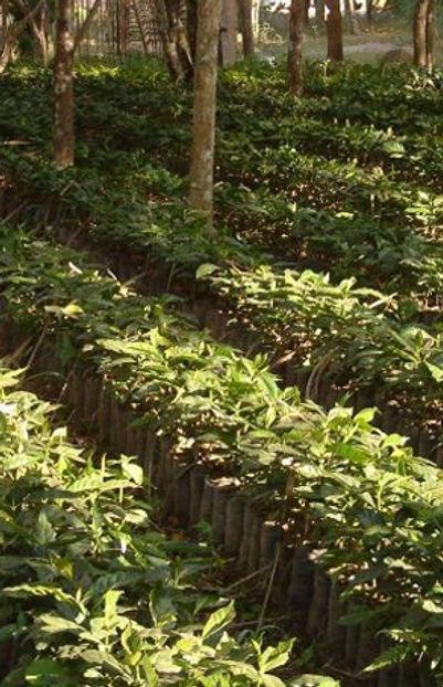 coffee, coffee beans, coffee plant