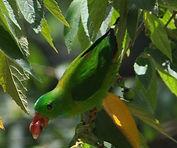 hanging_parrot.61203141_std.jpg