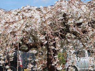 Blossom Gillian B.JPG