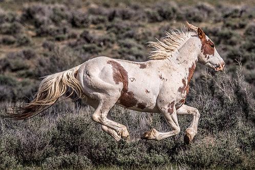 SHOCKTOP - Wild Pinto Mustang Stallion
