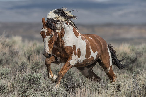 WILD MUSTANG PICASSO