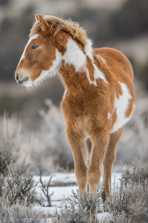 WILD PINTO MUSTANG COLT
