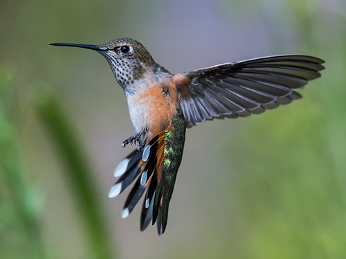 BROAD TAILED HUMMINGBIRD in FLIGHT