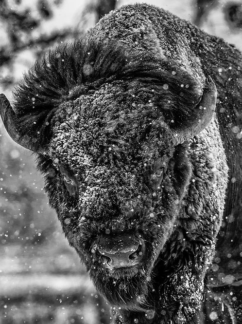 COLORADO BISON