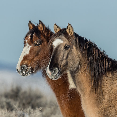 Wild Colorado Mustangs