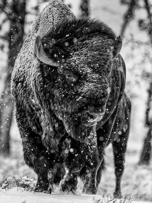 COLORADO BISON in SNOW