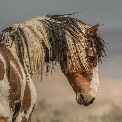 WILD PINTO MUSTANG : PICASSO