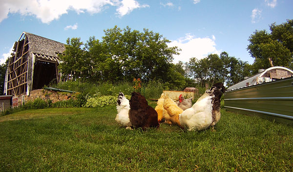 farm chickens