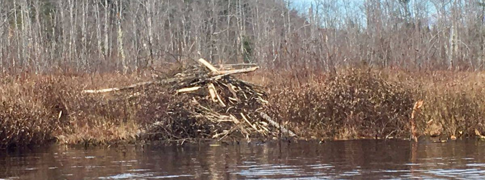 One of two beaver dams in this spring fed pond