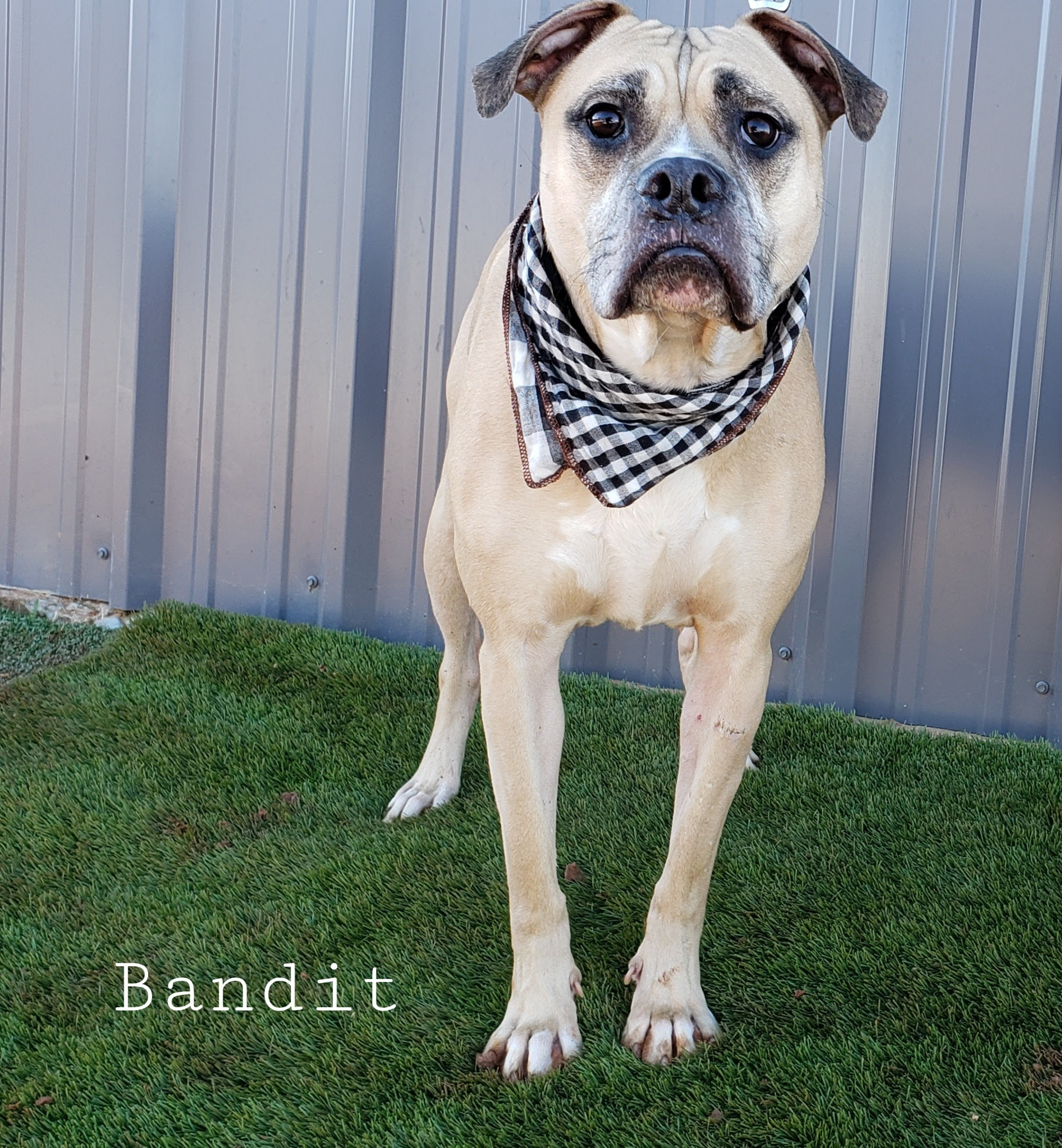 Bandit-4 years old male