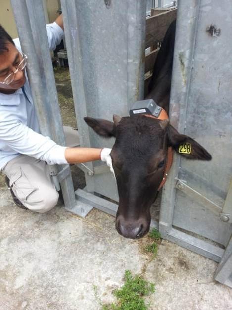 Cattle management