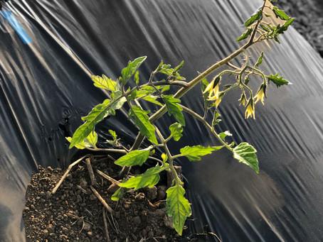 ミニトマト定植完了!