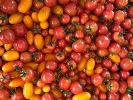 ミニトマト大収穫祭