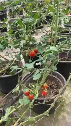 Tomato cherry in summer time at Rim Ping Organic Farm.