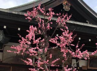 大阪天満宮の梅の花が見ごろです!