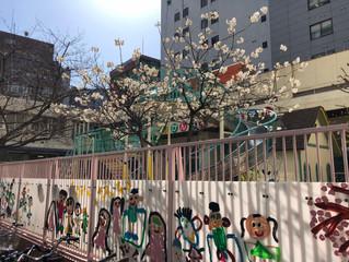 菅南幼稚園の梅が満開でした!