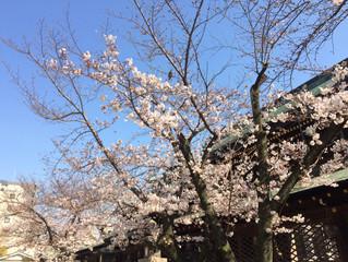 大阪天満宮の桜が咲き始めました!