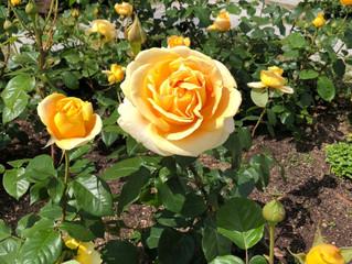 中之島公園にバラを見に行きました!