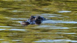 Aligator, Everglades National Park