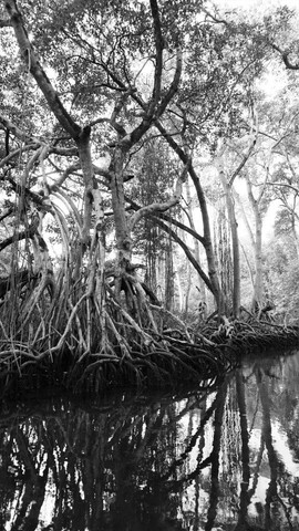 Mangroves Rio San Juan Dominican Republic.