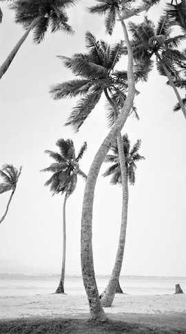 Winding palm trees. Playa Rincon Dominican Republic.