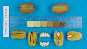 Pecan Varieties: Where Do They Come From?