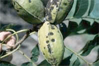 Pecan Scab: now is the time to notice