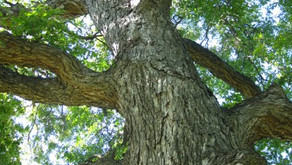 Share Your Story: 100th Anniversary for the Texas State Tree
