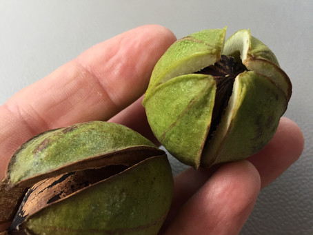 First Pecans of the Season. What is our Crop Condition?