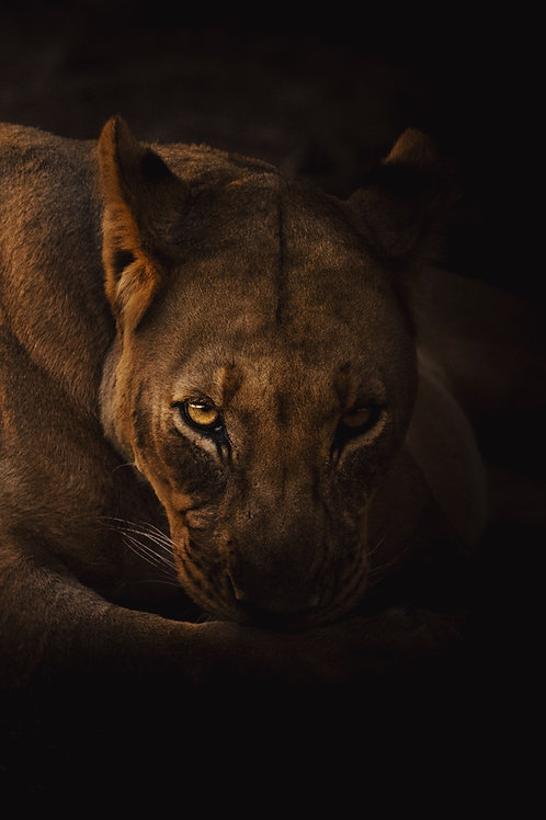 Lioness in Light