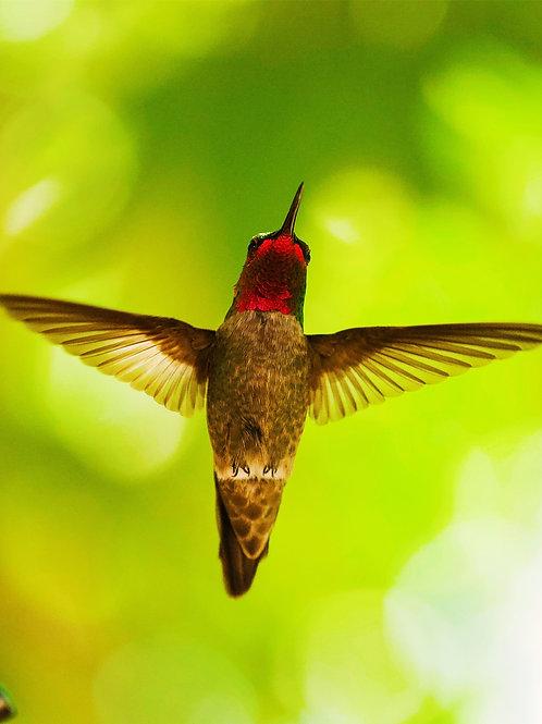 Hummingbird, Arizona