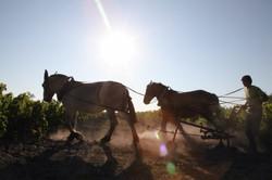 Chevaux de trait vigne vignoble