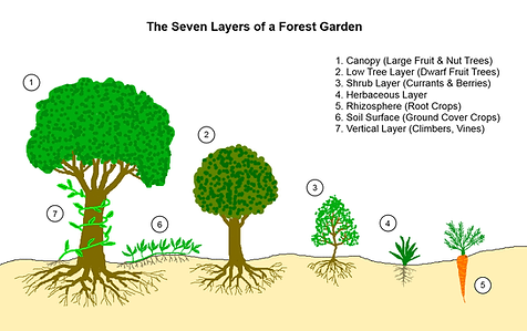 permaculture-food-forest-layers.png