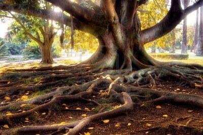 3778955-avec-de-grands-arbres-centenaires-le-tronc-et-les-grosses-racines-au-dessus-du-sol