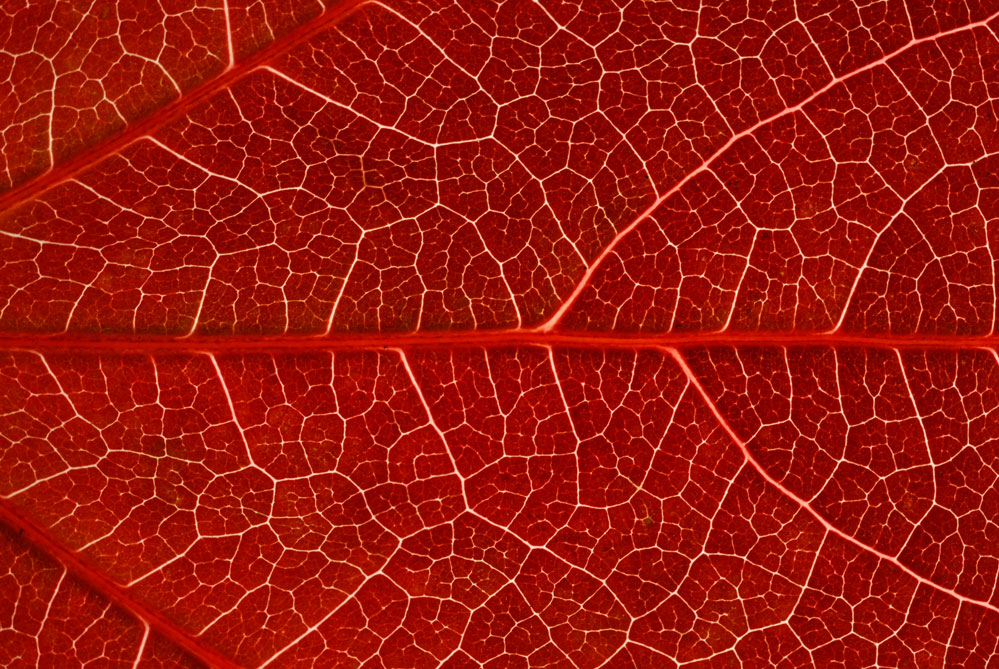 vigne-vierge-rouge-sang-2bcd7c8f-5c75-4f39-abec-1cb9c5ccbb76