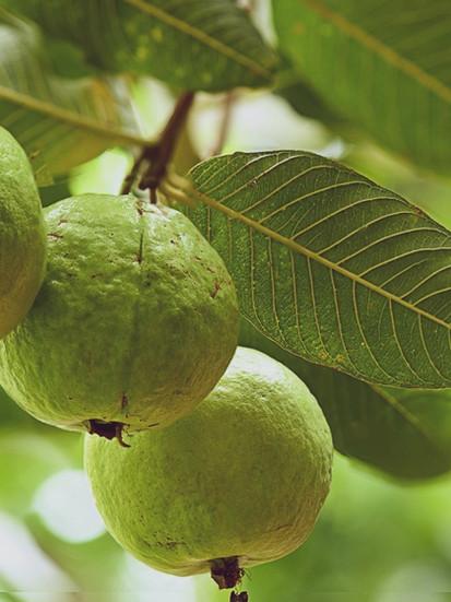 guava-fruit-1 (1).jpg