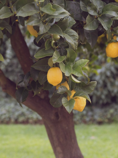 lemon-tree (1).jpg